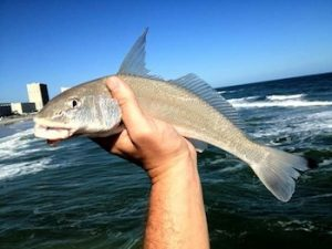 Best Shark Bait For Surf Fishing - Whiting - Gear Lobo