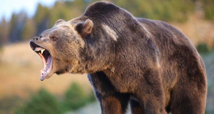 Grizzly-Bear-Attack-Bear-Spray